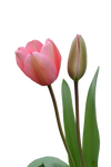 Pink Tulip Cut Out PNG Stock