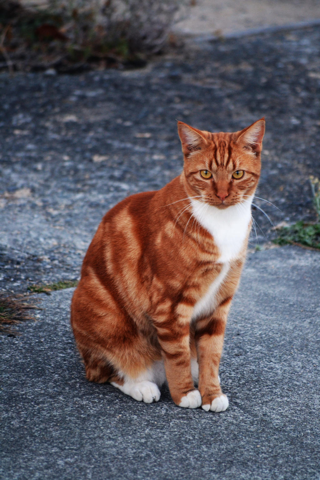 Ginger Tom Cat Stock 1 by jojo22