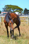 Brown Horse Stock 2