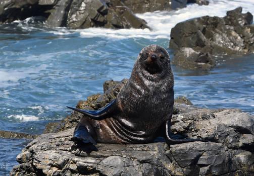 Fur Seal Swag