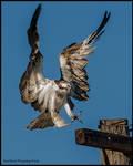 Osprey VII