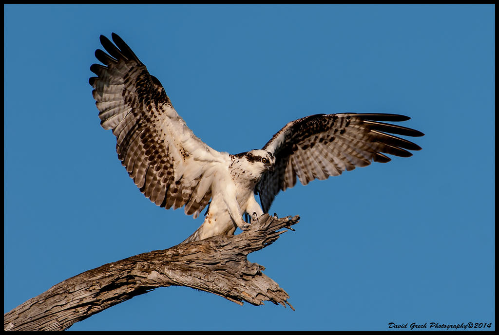 Osprey Landing by AirshowDave