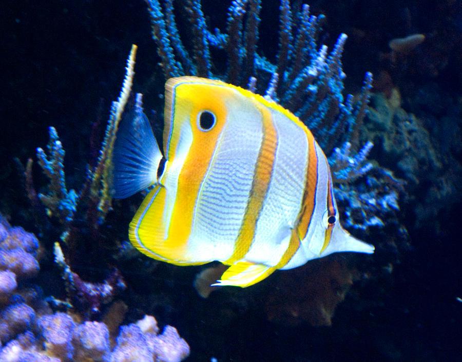 Yellow saltwater fish