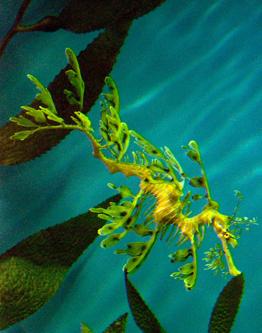 Leafy Sea Dragon by Zoxesyr on DeviantArt