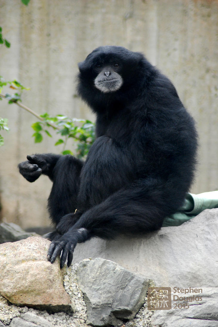 Siamang snacking at the San Francisco Zoo by Zoxesyr