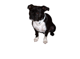 french bulldog png by SpellpearlArts