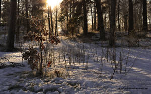 winter forest by sofiavienna