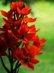 Orange flowers by Yeloon