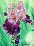 Untitled Iris #1