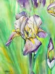 Untitled Iris #2