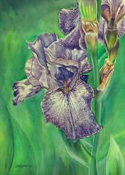 Untitled Iris #6