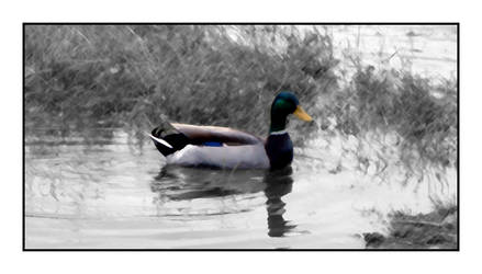 Mallard - Soft Ripples by composmentis