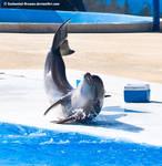 Dolphin STock 55