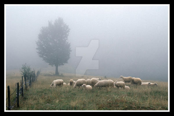 Sheep in mist by DreamPhotoFactory