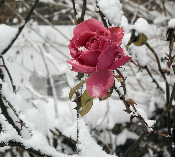 how to cut roses for winter