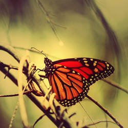 Monarch Butterfly by crichton380