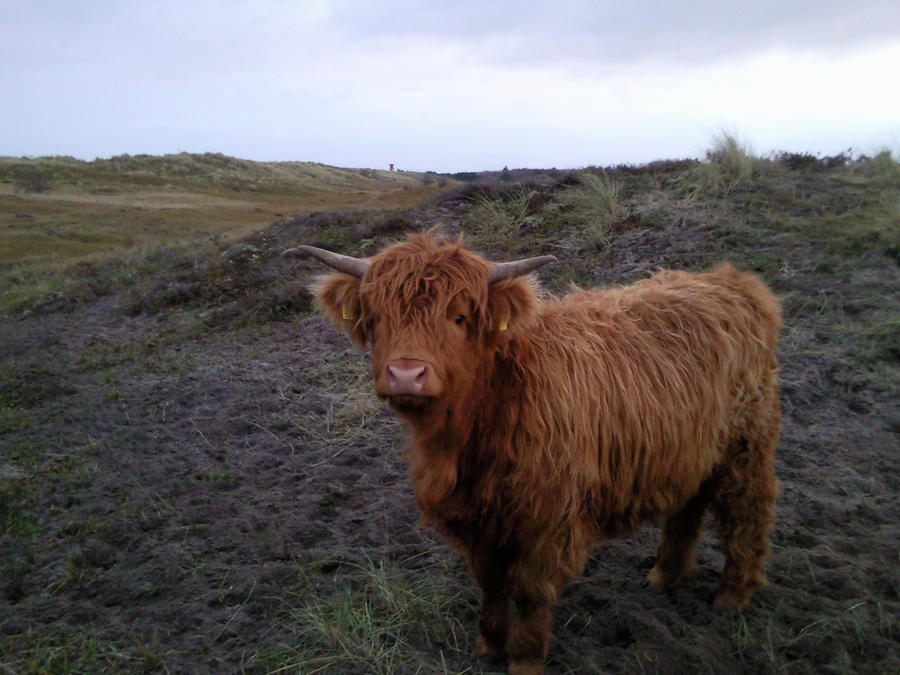 Highland Cattle 02 by Fea-Fanuilos-Stock