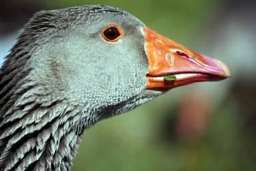 A Simple Goose