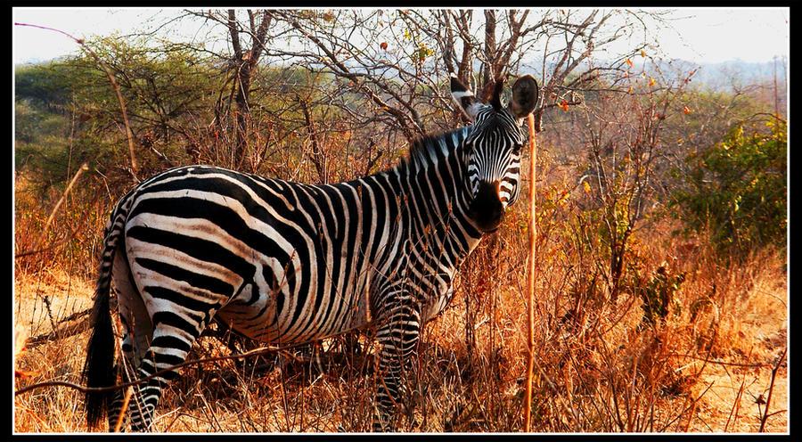 Zebra by Lutro