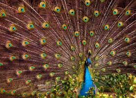 Proud peacock by efffkaK