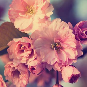 Sunset Sakura by joannastar