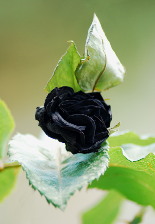Halfeti 39 s black rose by candan on deviantart for Buy black and blue roses