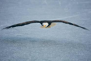 Bald Eagle Over Ice Pond