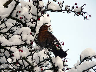 Snowy blackbird by Aissyla