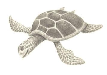 Sea turtle by Aissyla