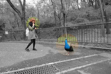 Oh ! A Peacock By Yucali edited By Moonmansheep by moonmansheep