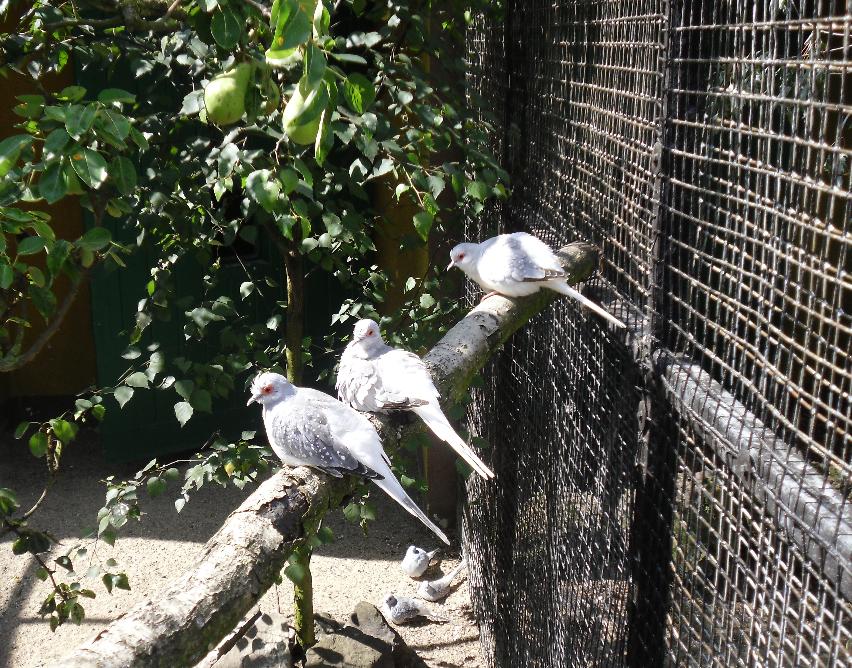 : Pigeons :