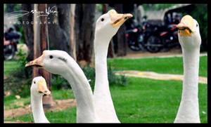 Duck Duck by AssamART