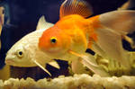 GOld Fish with Blue Liner by AssamART