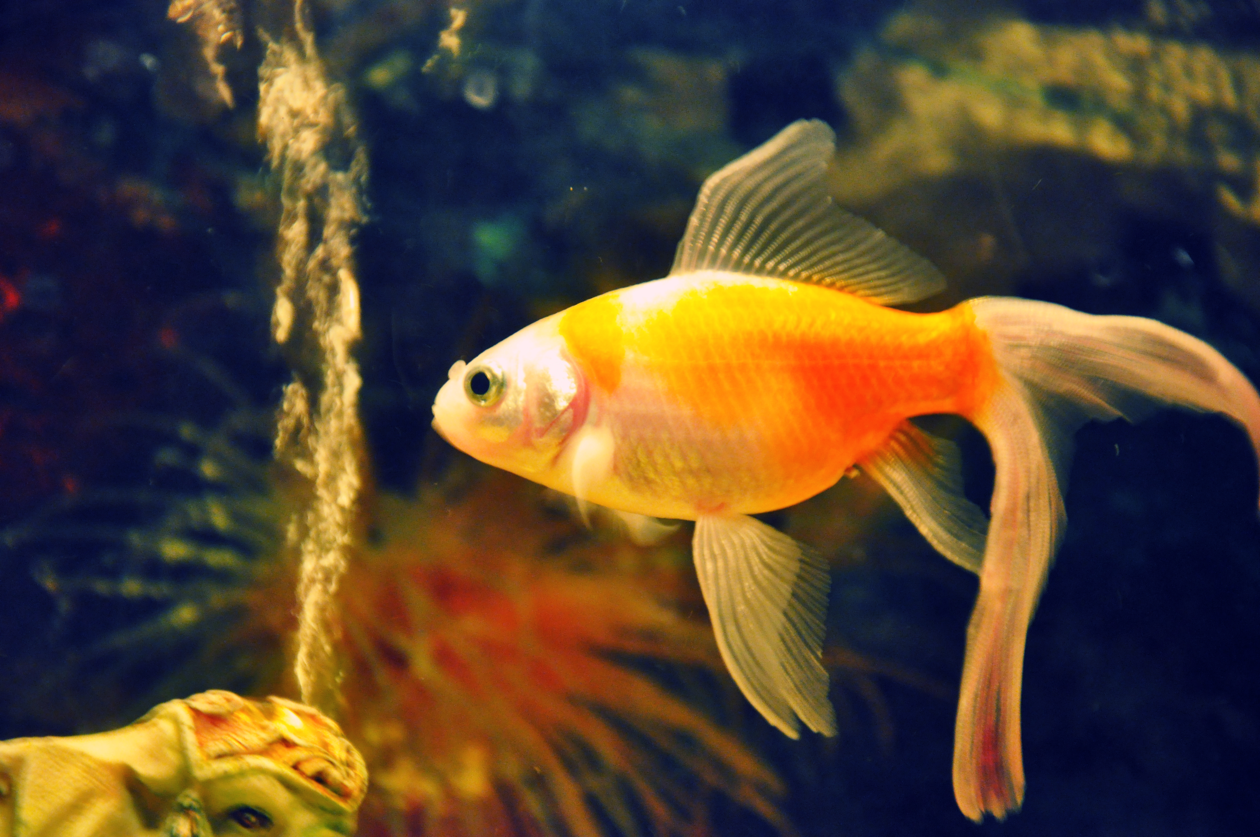 Gold Fishes Photos Small GOld Fish by Ass...