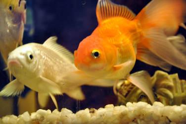 GOldfish and Blue Liner by AssamART