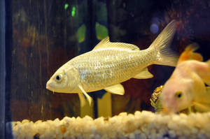 Silver Fish by AssamART