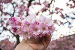 Sakura Flowers - 4 by silentmemoria