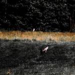Common Crane's Visit by silentmemoria