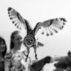 Flying Great Horned Owl - Malta - 75 by silentmemoria