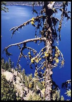 tree, Crater Lake