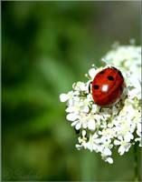 ladybug by riksha