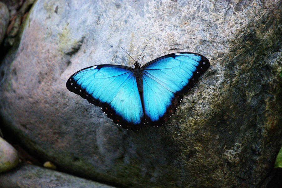 blue butterfly group - photo #8