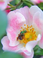 Green Sweat Bee by KMourzenko