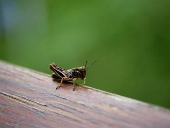 A Grasshopper Nymph by KMourzenko