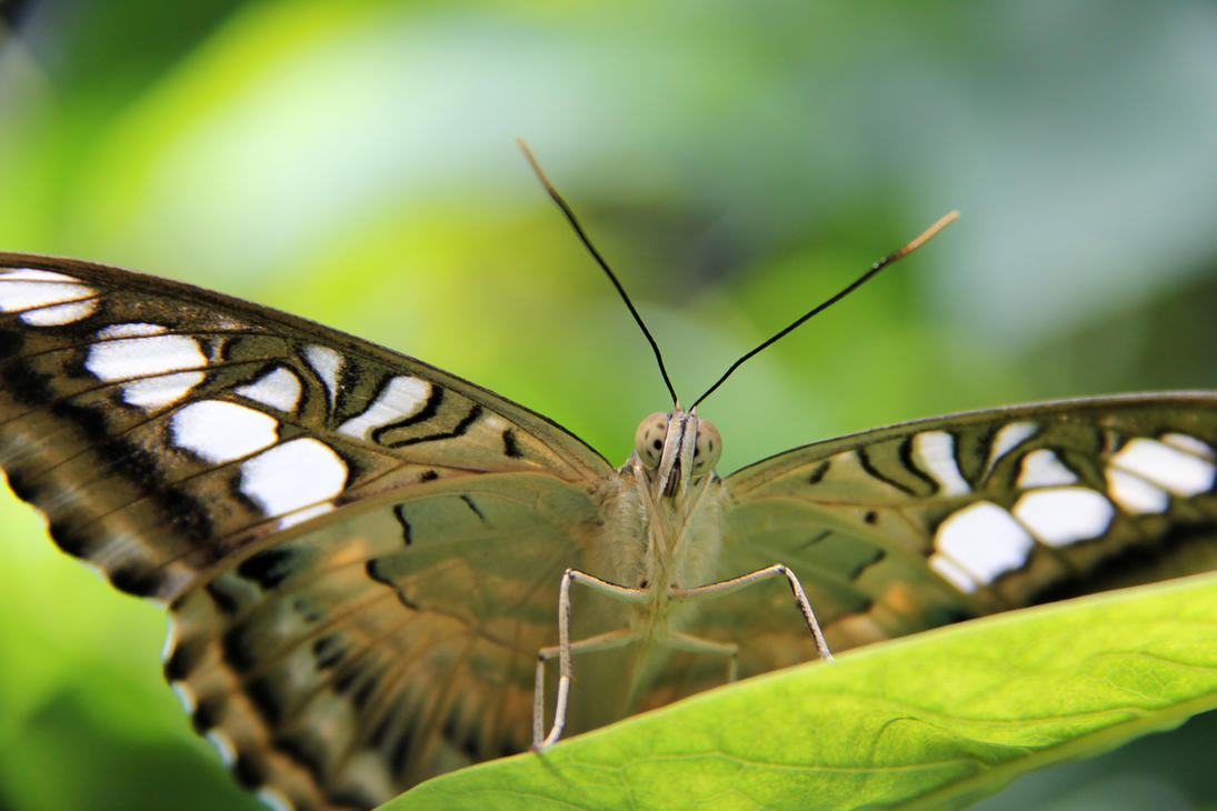 Clipper Butterfly Stare-Down by KMourzenko