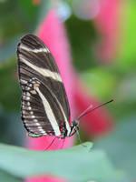 Black and White on Pink. Zebra Longwing Butterfly. by KMourzenko