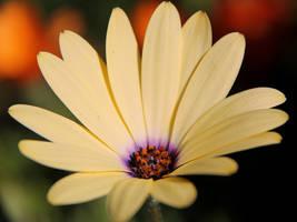 Yellow African Daisy by KMourzenko