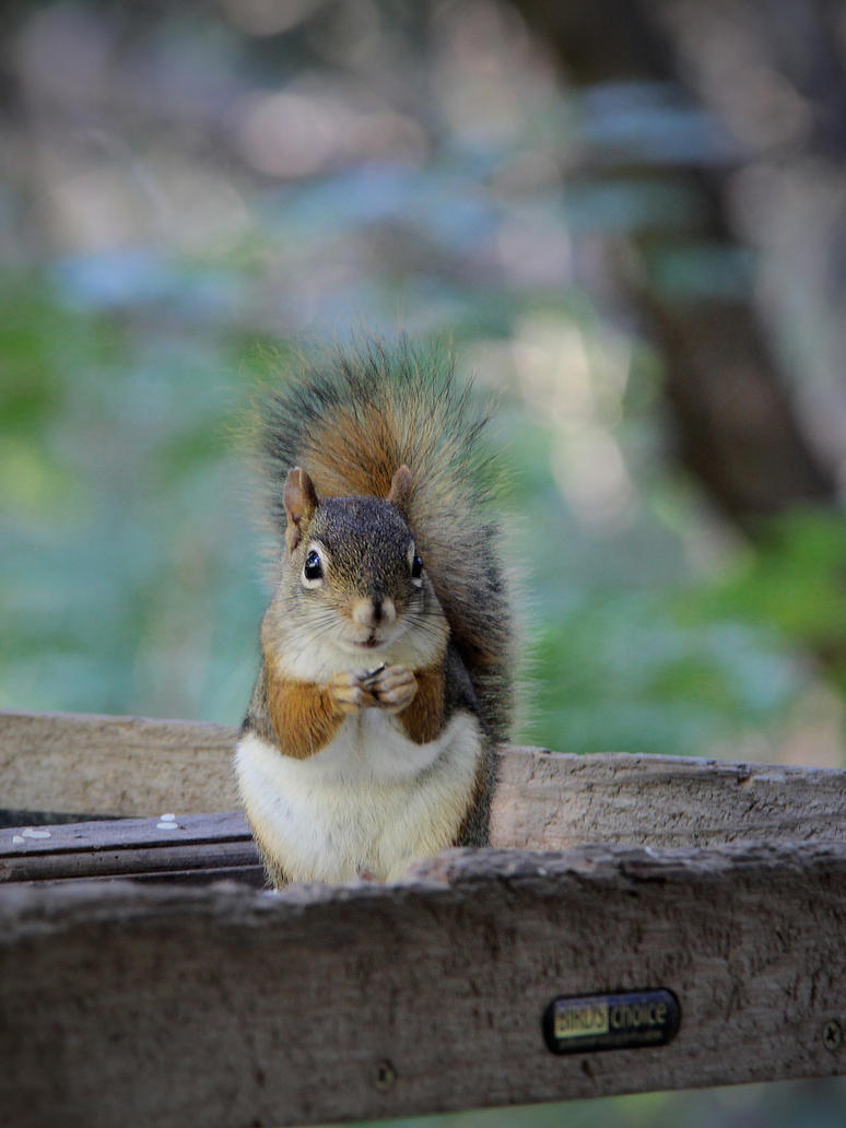 Red Squirrel On a Feeder by KMourzenko