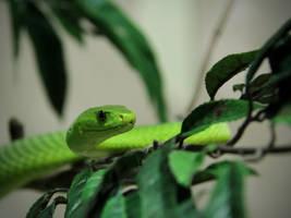 Green Mamba by KMourzenko