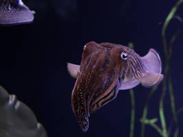 A Curious Cuttlefish by KMourzenko